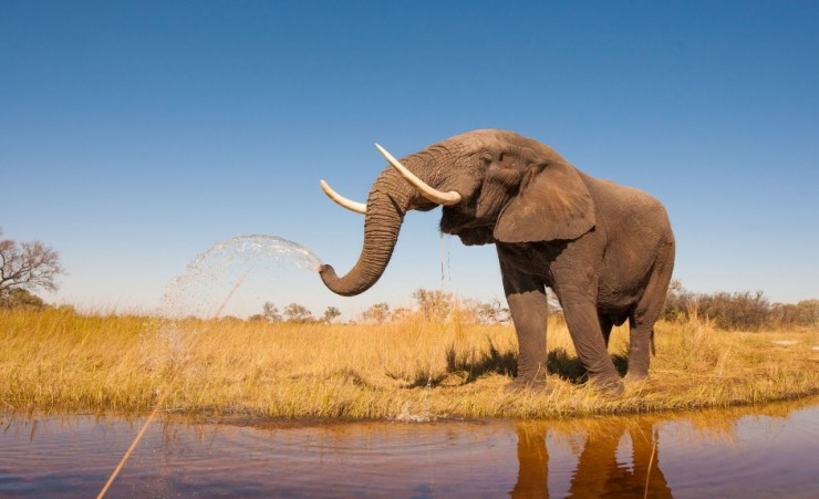 """Elephant Drinking From The Chobe River"""