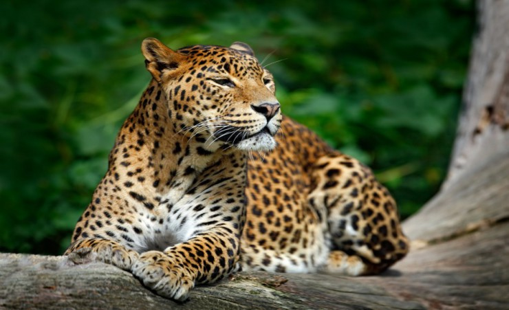 """Leopard   Yala National Park"""