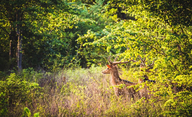 """Udawalawe National Park   Deer"""