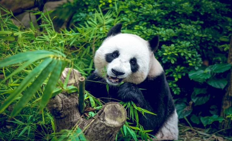 """Panda Eating Bamboo"""