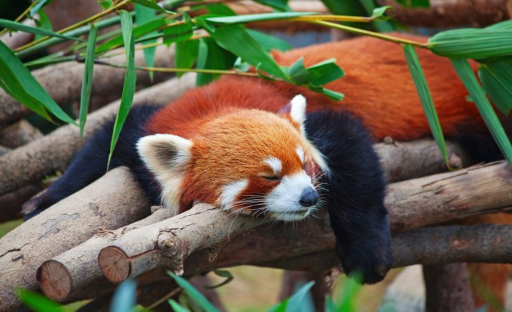 """Sleeping Red Panda"""