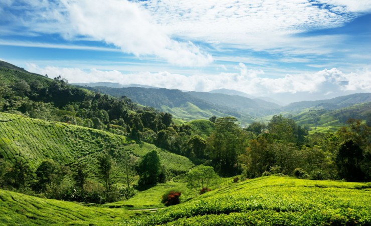"""Cameron Hill Tea Plantation"""