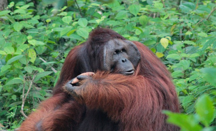 """Orangutan At Semenggoh Wildlife Rehabilitation Centre"""
