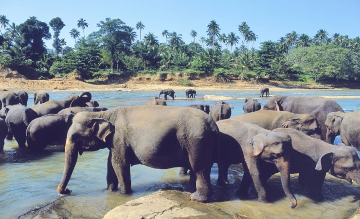 """The Elephants At Pinnawala"""