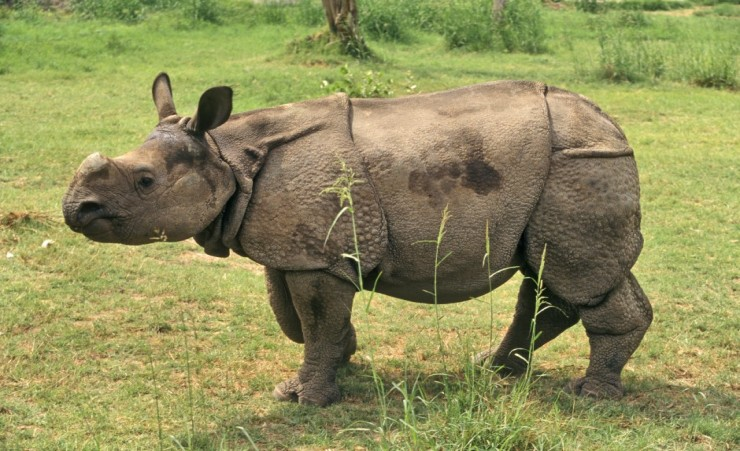 """The Indian Rhinoceros"""