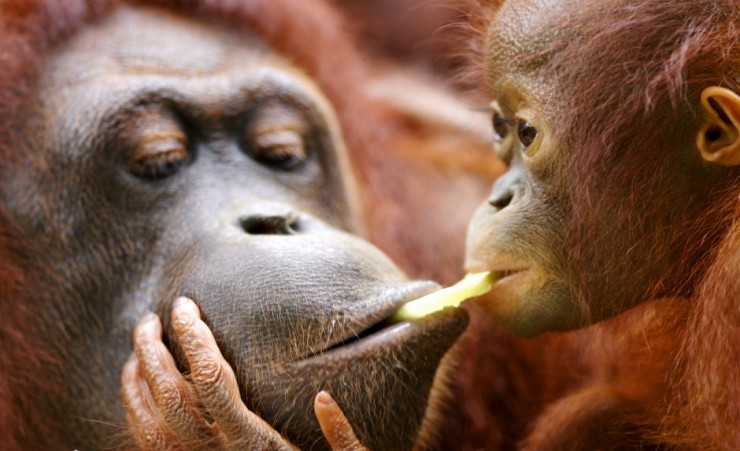 """Mother And Infant Orangutan"""