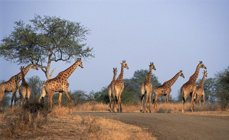 """Kruger National Park Giraffes"""