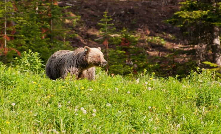 """Grizzly Bear In Banff National Park"""