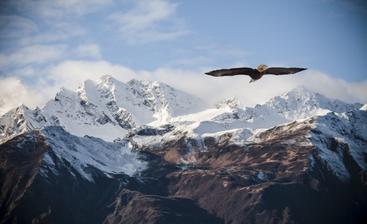 """Bald Eagle Against The Alaskan Mountain Peaks"""