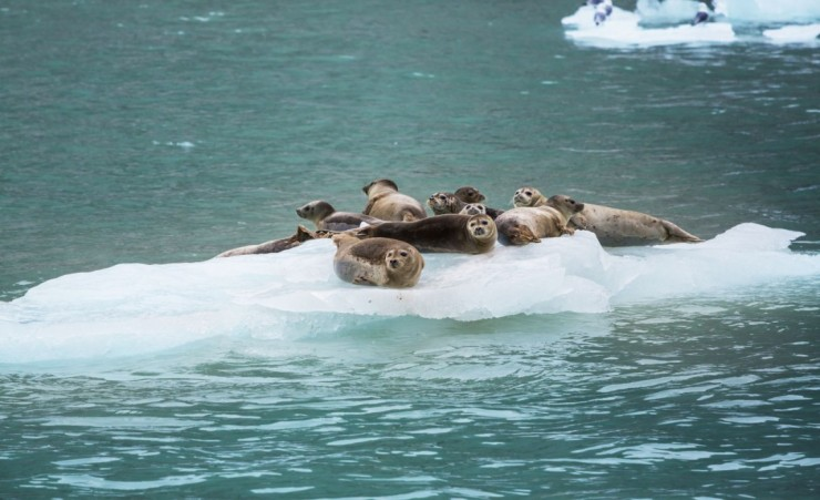 """Harbor Seals In Alaska"""