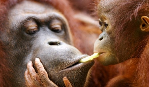 Borneo's Jungle & Orangutans